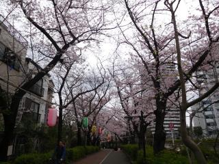 南砂緑道の桜