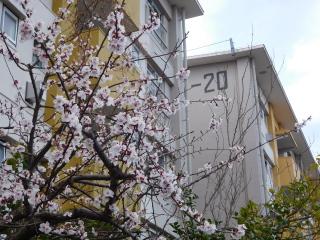 桜と湖北台団地