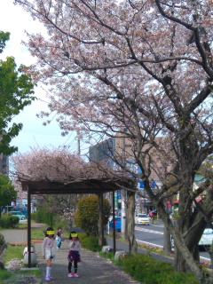 桜とテラ子、テラ美、テラ太